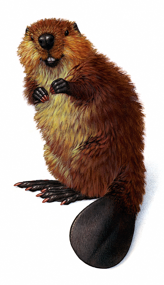 Baby Beaver, for Smokey the Bear magazine campaign