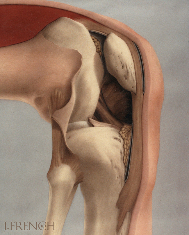 Cruciate Ligaments of the Knee