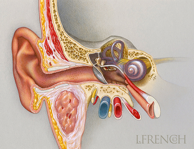 Anatomy of the Ear, for brochure