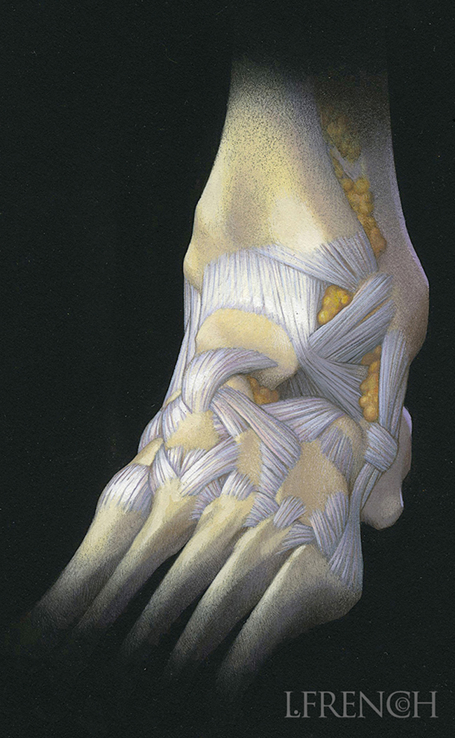 Ankle Ligaments, for Anaprox pain reliever brochure
