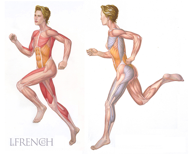 Musculature, for Elaine Powers fitness centers poster