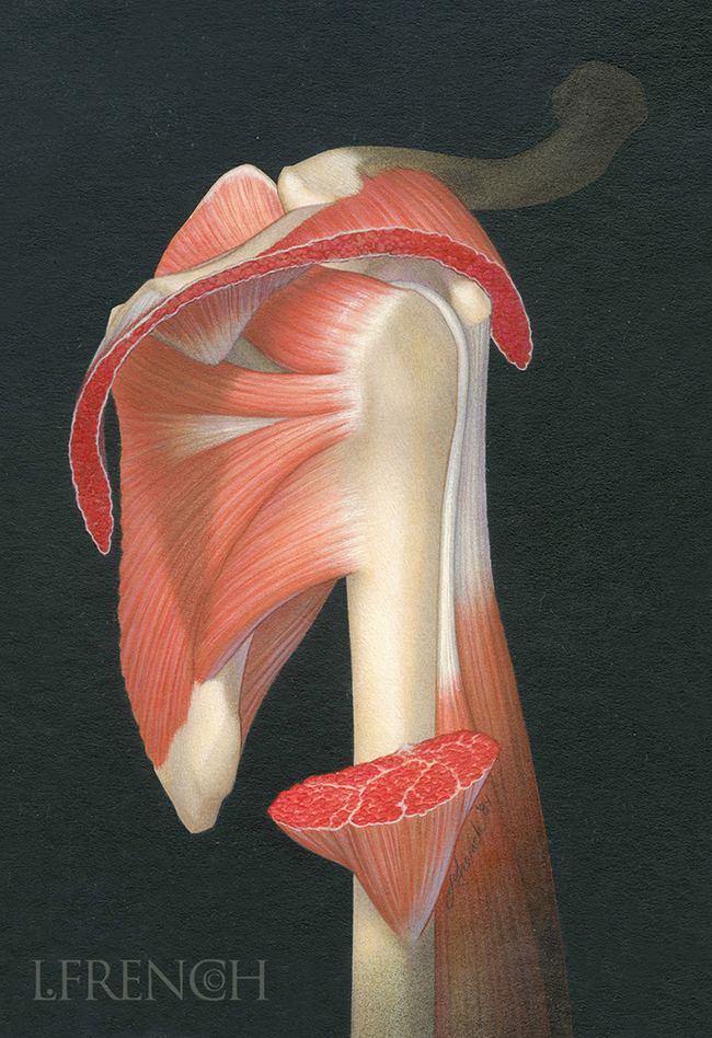 Rotator Cuff, for Anaprox pain reliever brochure